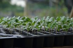 My little vegetable garden: eggplant