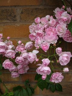 Gorgeous Flowers Garden & Love Belvedere Climbing R Beautiful gorgeous pretty flowers Garden Front Of House, Spring Projects, Rose Bush, Large Plants, Climbing Roses, Love Rose, Front Yard Landscaping, Country Landscaping, My Flower