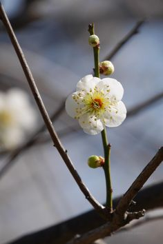 Ume blossoms / Japanese apricot
