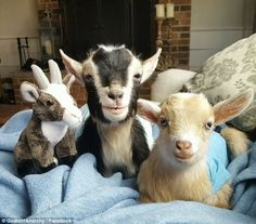 Nowadays, Lauricella shares heartwarming photos of the two goats snuggling next to each other with her 315,000 Instagram followers