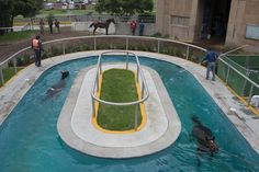 In this Wednesday, July 2, 2014 photo, horses swim in a treadmill hydrotherapy pool while another employee scoops dirt out of the pool at the Hippodrome of the Americas in Mexico City. The low-impact therapy helps the horses recover from rigorous exercise and racing. (AP Photo/Sean Havey)