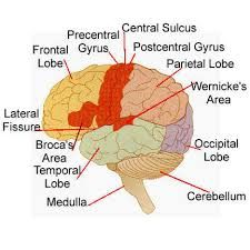 Diagram of the human brain with its respective parts yw helps sulci and gyri of the brain google search ccuart Gallery