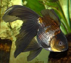 Oranda goldfish--we had one EXACTLY LIKE THIS ONE!!!  oh they were such chubby little sweeties