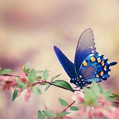 mariposas blue and orange butterfly Papillon Butterfly, Butterfly Kisses, Butterfly Flowers, Blue Butterfly, Mariposa Butterfly, Butterfly Quotes, Flying Flowers, Dragonfly Quotes, Butterfly Pictures