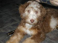 """When I have kids, and when they are ten and when they beg for a Dog I will say """"Yes"""", but I'm picking the breed an - Aussiedoodle"""