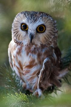 Saw-whet Owl. Because I'm insane and I really want to own an owl Owl Bird, Bird Art, Pet Birds, Beautiful Owl, Animals Beautiful, Cute Animals, Cute Baby Owl, Baby Owls, Owl Photos