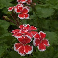 page 3 of 16: geranium: 304 plants | plant lust - seriously simple search for plants/Pelargonium 'Mr Wren'