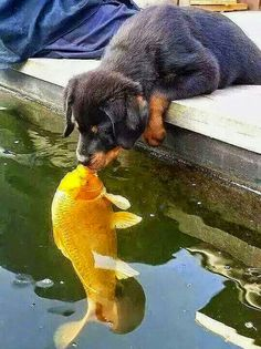 Puppy kissing a fish....