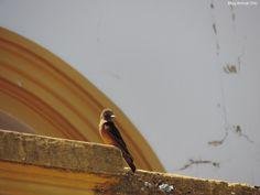 Gibão-de-couro (Hirundinea ferruginea) fotografado em São José do Rio Pardo/SP em Outubro/14.