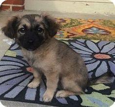 Rossford, OH - Sheltie, Shetland Sheepdog/Pomeranian Mix. Meet EMMA, a puppy for adoption. http://www.adoptapet.com/pet/15339837-rossford-ohio-sheltie-shetland-sheepdog-mix