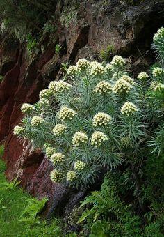 22 Canary Island Plants Ideas Plants Canary Island Canary