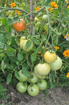 Ekologiczna uprawa pomidorów gruntowych | NaOgrodowej.pl Garden Gates, Herb Garden, My Secret Garden, Flora, Fruit, Vegetables, Beautiful, How To Plant Strawberries, Vegetable Garden Tips