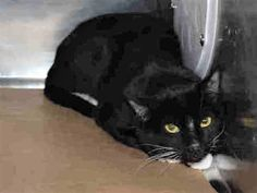 DOMINO - A1106012 - - Brooklyn  *** TO BE DESTROYED 03/22/17 ***  (Came in with TEQUILA, also listed) These housemates are a little wary around new people and in the shelter environment, so we want to get them into loving homes where they can explore and adjust at their own pace as soon as we can! Though these young kitties seem initially unsure, after some gentle petting they have been opening up some and leaning in for gentle cheek and head rubs! They would all be happies