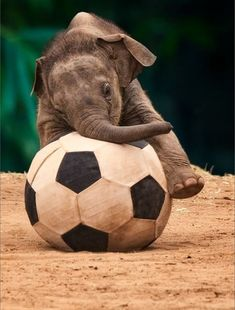 Super Ideas For Love Bird Illustration Animals Cute Baby Elephant, Cute Baby Animals, Animals And Pets, Funny Animals, Baby Elephants, Majestic Animals, Animals Beautiful, Beautiful Beautiful, Mundo Animal