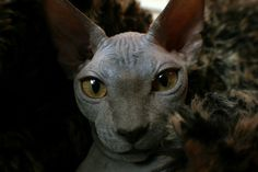 This Sphynx who's taking his first selfie.