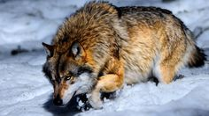 The wolf changes his coat, but not his disposition