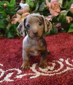 Dapple Dachshund Miniature, Dapple Dachshund Puppy, Dachshund Funny, Brown Dachshund, Baby Dachshund, Baby Dogs, Dachshund Breeders, Dachshund Drawing, Daschund Puppies For Sale