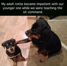 """Stupid humans don't know how to properly train a dog"" - Adult rottie"