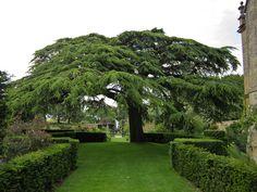 Hidcote's cedar of Lebanon (Cedrus libani) by entireleaves, via Flickr