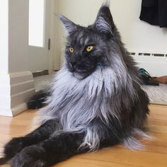 Oh! Hello ! Nice seeing you again! Via: @the_maine_coon_bros From: @the_maine_coon_bros #MaineCoon http://www.mainecoonguide.com/maine-coon-personality-traits/