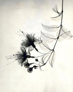 Photographies aux Rayons X des Années 1930 de Détails délicats de Fleurs