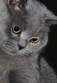 File:British shorthair.JPG