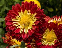 https://flic.kr/p/neNiQF | Red Chrysanthemum | Longwood Gardens PA