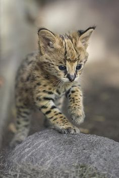 Kamari the Serval Kitten by San Diego Zoo Global. Zoo Animals, Cute Baby Animals, Funny Animals, Wild Animals, Kittens Cutest, Cats And Kittens, Cute Cats, Small Wild Cats, Big Cats