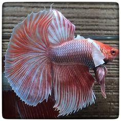 AquaBid.com - **Dumbo Lavender 272**