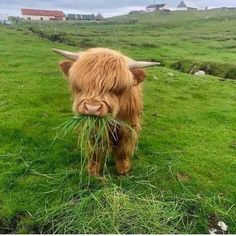 Look at this cute highland cow! Cute Baby Cow, Baby Cows, Cute Cows, Baby Baby, Baby Elephants, Cute Creatures, Beautiful Creatures, Animals Beautiful, Fluffy Cows