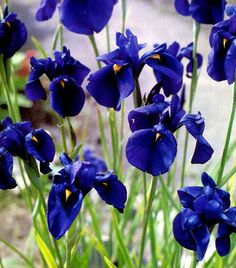 Iris kaempferi plug plants) Japanese Blue Water Iris ensata - Hardy Damp / Bog / Water garden / pond / aquatic Marginal Cut flower by RootGarden on Etsy Bog Plants, Water Plants, Garden Plants, Japanese Water, Japanese Flowers, Japanese Plants, Japanese Iris, Japanese Gardens, Part Shade Plants