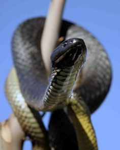 7 Venomous Snakes You Need to Avoid . Snake Venom, Snails, Planet Earth, Geo, Awesome, Amazing, Bugs, Wildlife, Passion