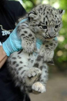 Snow #Leopard Cub. #ounce