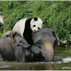 elephant and panda bear this is to cute. Sweet. Kudos to the Photographer!!!