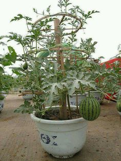 Idea: grow watermelon in a container. I likee