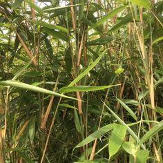 Arundinaria qingchengshanensis