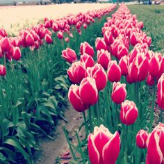 Check out Tulip Town next Spring! Beautiful fields for photography and fun!