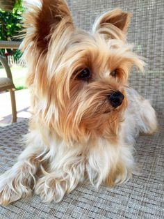 Meet MILEY, a Petfinder adoptable Yorkshire Terrier Yorkie Dog   Encino, CA   Meet Miley, a 3 year old, 6.5 lbs purebred Yorkie. Miley was adopted several months ago but was...