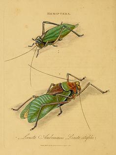 || Hemiptera - Locusta Amboinensis Locusta Atrifolia