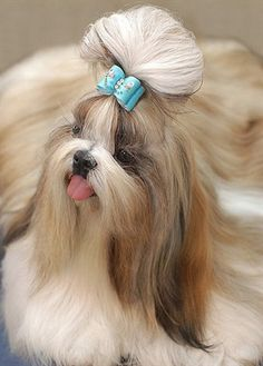 Shih Tzu    Origin: China / USA  Colors: Any  Size: Small  Type of Owner: Novice  Exercise: Very little  Grooming: Regular  Trainability: Somewhat difficult to train  Combativeness: Friendly with other dogs  Dominance: High  Noise: Likes to bark