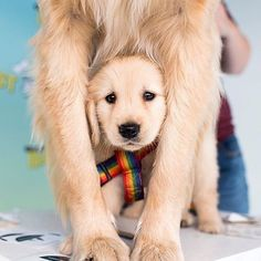 """Tag """"your person"""" #greysanatomy #welovegoldens by goldenretrievers_"""