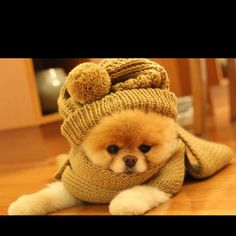 People who buy Teacup Teddy bear puppies are very popular than ever. It is not about the popularity it also about how cute such puppies are. You cannot blame them for such cuteness and you might al… Teddy Bear Puppies, Cute Puppies, Dogs And Puppies, Cute Dogs, Doggies, Baby Puppies, Boo The Cutest Dog, World Cutest Dog, Boo And Buddy
