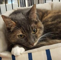 Kitty is an adoptable Domestic Short Hair searching for a forever family near Stratham, NH. Use Petfinder to find adoptable pets in your area.