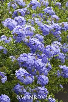 Royal Cape® Plumbago - Monrovia - Royal Cape® Plumbago