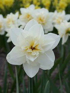 Daffodil 'Poolster' available at LivingGardens.com