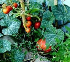Cultivar hortalizas como plantas silvestres - Ecocosas