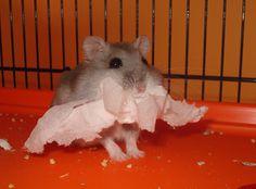 Mi hamster ruso hace lo mismo.. :3 es tan adorable! #Dawrf #Robo #Hamster