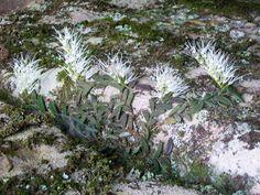 Tongue-Orchid [Dockrillia linguiform], in Situ, West Head. Ku-ring-gai Chase National Park, Australia
