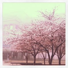 cherry blossom blooming in Brooklyn... image courtesy of BAM