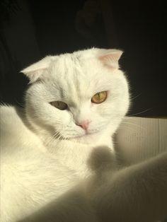 White scottish fold #Oliver